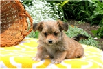 Picture of Maggie / Morkie