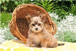 Picture of Marisol / Morkie