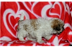 Picture of Sparkles / Morkie
