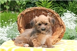Picture of Major / Morkie