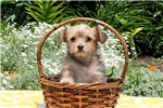 Picture of Millicent / Morkie