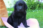 Newfoundland for sale