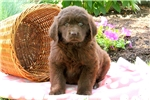 Picture of Ruby / Newfoundland
