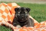 Picture of Petunia / Norwegian Elkhound