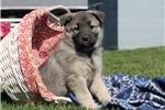 Picture of Lucy / Norwegian Elkhound