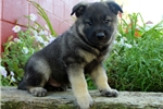Picture of Donte / Norwegian Elkhound