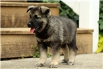 Picture of Britt / Norwegian Elkhound
