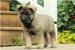 Picture of Boulder / Norwegian Elkhound