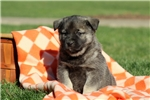 Norwegian Elkhound for sale