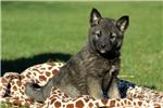Picture of Flora / Norwegian Elkhound