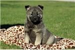 Picture of Fancy / Norwegian Elkhound