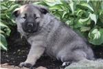 Picture of Camile / Norwegian Elkhound