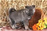 Picture of Tatiana / Norwegian Elkhound