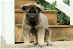 Picture of Bing / Norwegian Elkhound