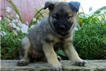 Picture of Darla / Norwegian Elkhound