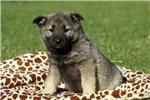 Picture of Fletcher / Norwegian Elkhound