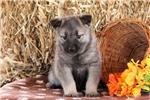Picture of Trooper / Norwegian Elkhound