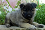 Picture of Diamond / Norwegian Elkhound