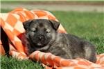 Picture of Porter / Norwegian Elkhound