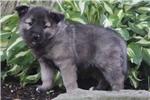 Picture of Cinderella / Norwegian Elkhound
