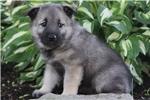 Picture of Cathy / Norwegian Elkhound