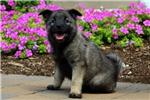Picture of Kinsley / Norwegian Elkhound