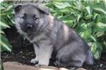 Picture of Cindy / Norwegian Elkhound