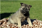 Picture of Feather / Norwegian Elkhound