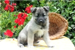 Norwegian Elkhounds for sale