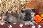 Picture of Trigger / Norwegian Elkhound