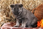 Picture of Tracy / Norwegian Elkhound