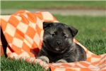 Picture of Penny / Norwegian Elkhound