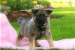 Picture of Snooki / Norwegian Elkhound