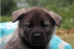 Picture of Anthony / Norwegian Elkhound