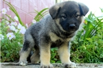 Picture of Daisy / Norwegian Elkhound