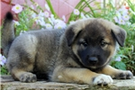 Picture of Dash / Norwegian Elkhound