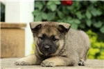 Picture of Balto / Norwegian Elkhound