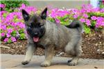 Picture of Kambria / Norwegian Elkhound