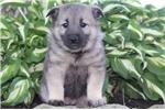Picture of Cris / Norwegian Elkhound
