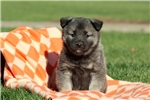 Picture of Pansy / Norwegian Elkhound