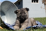 Picture of Lewis / Norwegian Elkhound
