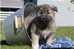 Picture of Liam / Norwegian Elkhound