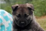 Picture of Alice / Norwegian Elkhound