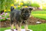 Picture of Snickers / Norwegian Elkhound