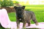 Picture of Sasha / Norwegian Elkhound