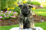Picture of Samson / Norwegian Elkhound