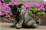 Picture of Keesha / Norwegian Elkhound
