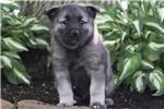 Picture of Corey / Norwegian Elkhound