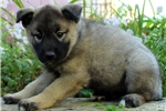 Picture of Donna / Norwegian Elkhound