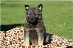 Picture of Fiona / Norwegian Elkhound